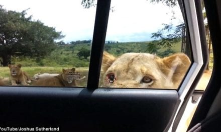 Terrifying Moment When A Family Was Approached By A Lioness That Opened Their Car Door With Her Teeth