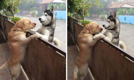 Lonely Husky Escaped To Give A Hug To His Friend Across The Street