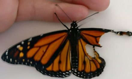 Woman Perfoms Surgery On Newborn Monarch Butterfly To Fix His Wings And The Result Is Amazing