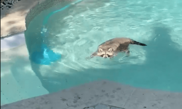 Open up Post: Hosted By A Raccoon Taking A Leisurely Dip Inside a Swimming Pool